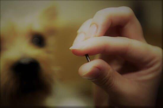 Envisagez-de-munir-votre-chien-dune-puce-electronique