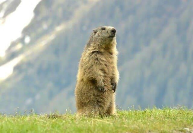 Marmottes-du-cirque-dEstaube